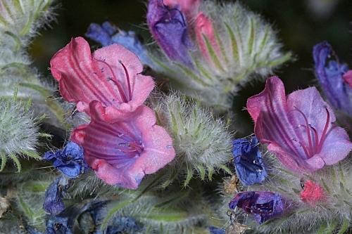 Echium albicans Lag. & Rodr.