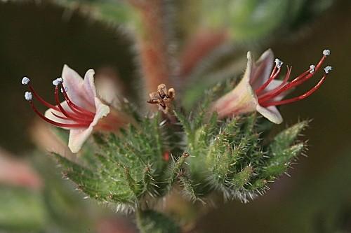 Echium asperrimum Lam.
