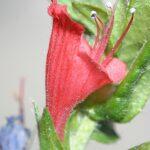 Echium tuberculatum Hoffmanns. & Link