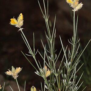 Echinospartum algibicum Talavera & Aparicio