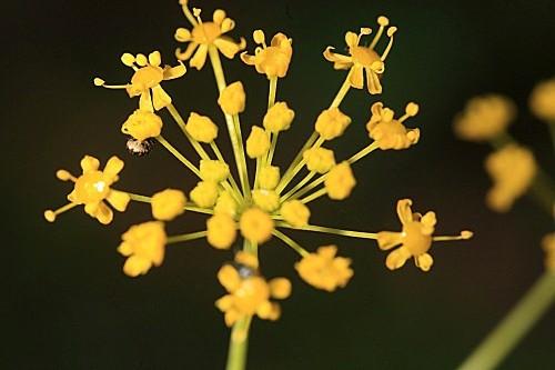 Elaeoselinum foetidum (L.) Boiss.