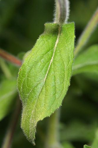Epilobium hirsutum L.