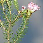 Erica australis L.