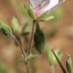 Erodium astragaloides Boiss. & Reut.