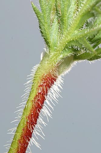 Erodium botrys (Cav.) Bertol.