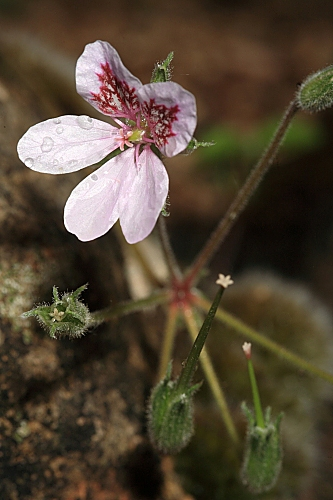 Erodium cazorlanum Heywood