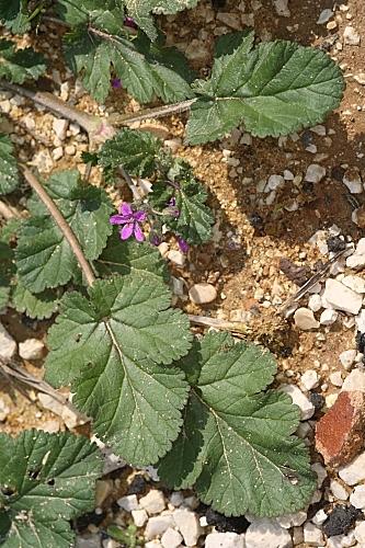 Erodium chium (L.) Willd.