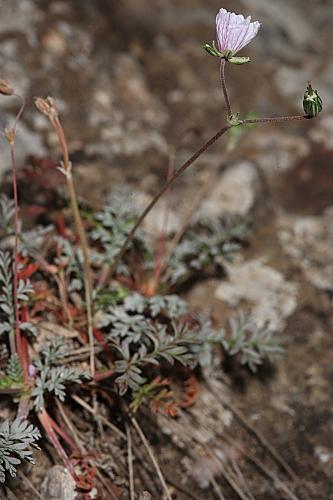 Erodium rupestre (Pourr. ex Cav.) Marcet