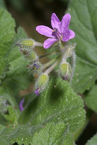 Erodium malacoides (L.) L´Her.