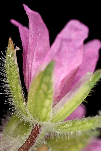 Erodium moschatum 0007