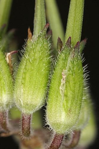 Erodium moschatum 0010