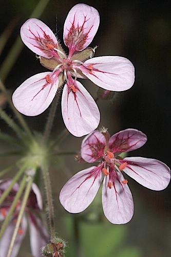 Erodium mouretii Pit.
