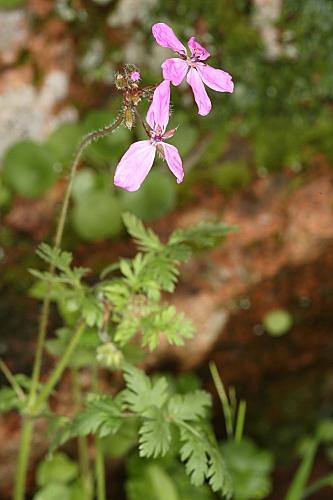 Erodium primulaceum Welw. ex Lange