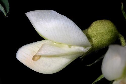 Erophaca baetica (L. ) Boiss.
