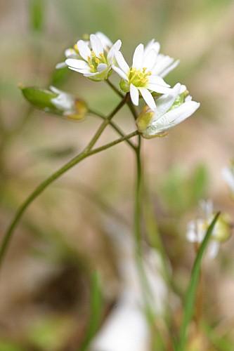 Erophila verna (L.) Chevall.