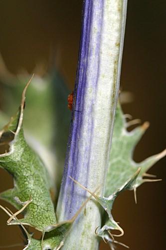 Eryngium aquifolium Cav.