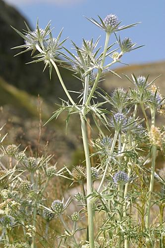 Eryngium bourgatii 0002
