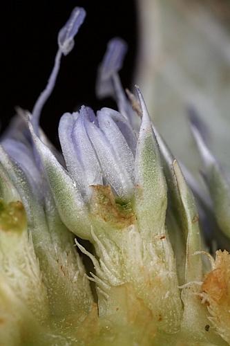Eryngium maritimum L.