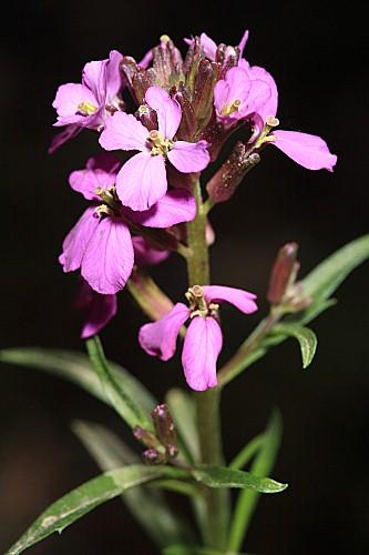 Erysimum baeticum (Heywood) Polatschek