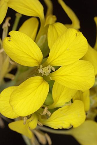 Erysimum myriophyllum Lange