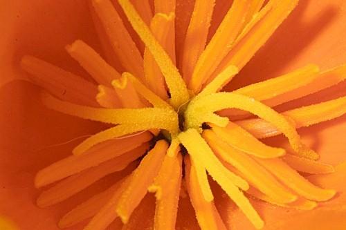 Eschscholzia californica Cham.