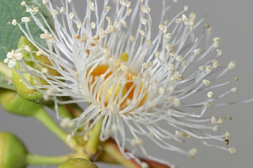 Eucaliptus camaldulensis Dehnh.