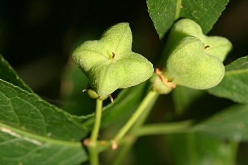 Euonymus europaeus L.