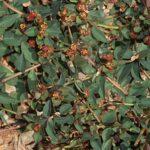 Euphorbia pyrenaica Jord.