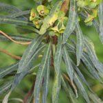 Euphorbia characias subsp. characias L.