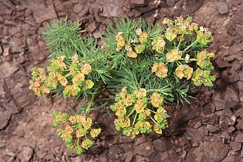 Euphorbia cyparissias L.