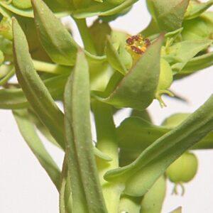 Euphorbia exigua L.
