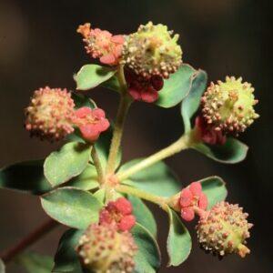 Euphorbia flavicoma subsp. flavicoma DC.
