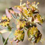 Euphorbia nevadensis Boiss. & Reut.