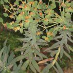 Euphorbia oxyphylla DC.