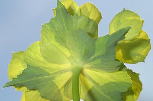 Euphorbia serrata L.