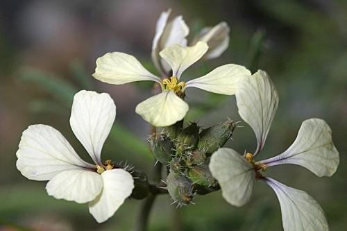 Euzomodendron bourgaeanum Coss.