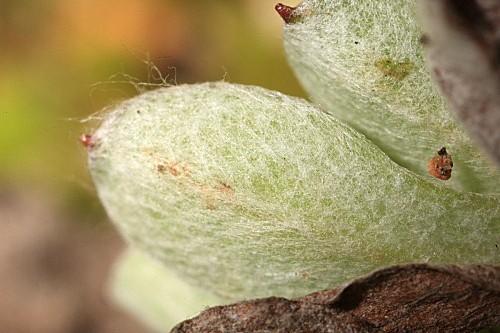 Evax pygmaea (L.) Brot.