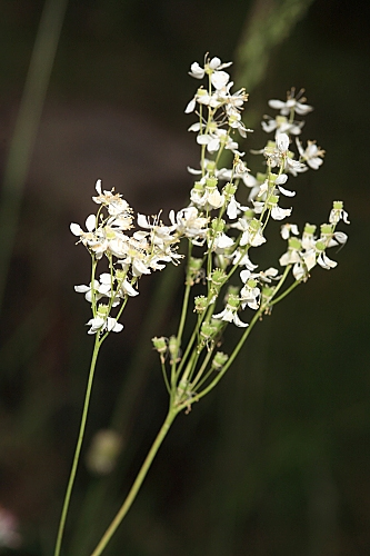 Filipendula vulgaris Moench