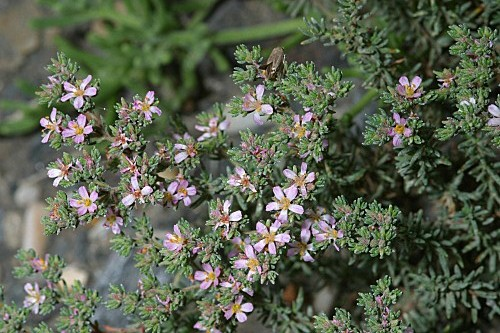 Frankenia corymbosa Desf.