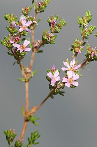Frankenia thymifolia Desf.
