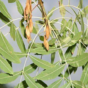 Fraxinus angustifolia subsp. angustifolia Vahl