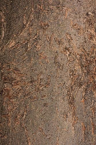 Fraxinus ornus L.