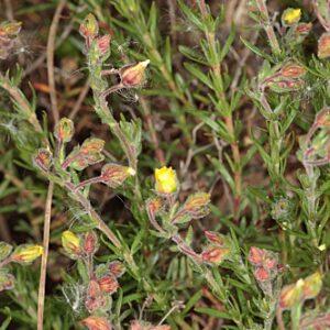 Fumana juniperina (Lag. ex Dunal) Pau
