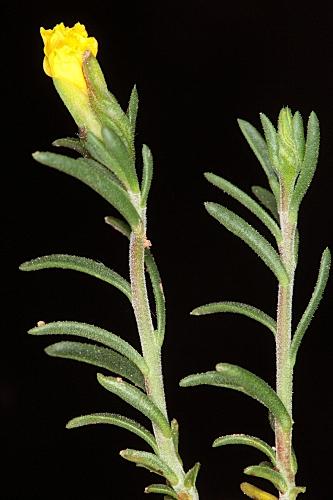 Fumana procumbens (Dunal) Gren. & Godr.