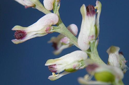Fumaria petteri subsp. calcarata (Cadevall) Lidén & A. Soler