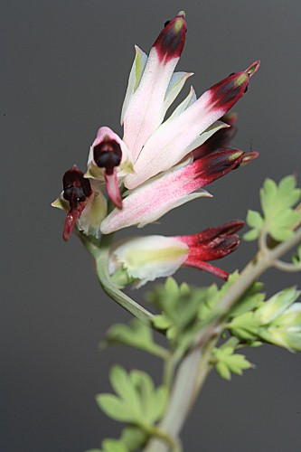 Fumaria macrosepala subsp. macrosepala Boiss.