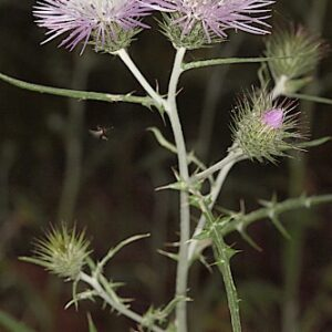 Galactites tomentosa Moench