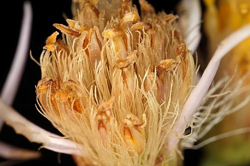 Galatella sedifolia (L.) Greuter subsp. sedifolia