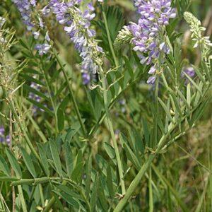 Galega officinalis L.