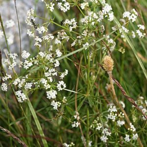 Galium broterianum Boiss. & Reut.